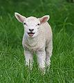 107px-Sheep,_Stodmarsh_6